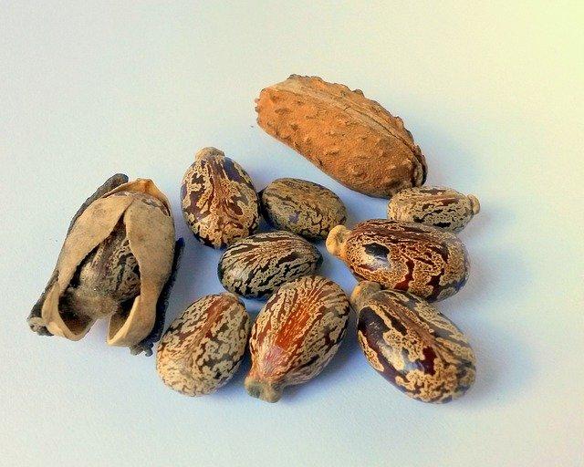 Castor beans on a table